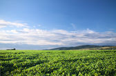Cultivated soy field — Stock Photo