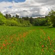 Red poppies in spring green field with cloudy sky — Stock Photo