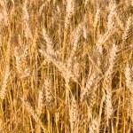 Wheat background — Stock Photo #6001355