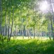 Huş ağacı orman — Stok fotoğraf