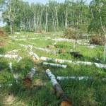 Deforestation — Stock Photo