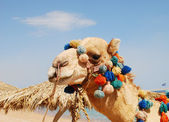 Camel over sky — Stock Photo