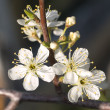 Blossom cherry — Stock Photo