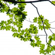 Maple branch — Stock Photo
