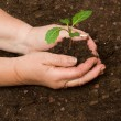 Tending cabbage seedling — Stock Photo
