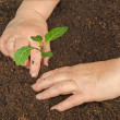 Tending cabbage seedling - Stock Photo