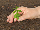 Planting mint — Stock Photo