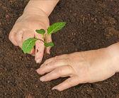 Tending cabbage seedling — Foto Stock