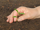 Planting seedling — Stock Photo