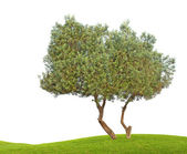 Olivenbaum — Stockfoto