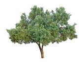 Olivträdet isolerad på vit bakgrund — Stockfoto