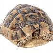 Close up of greek tortoise — Stock Photo
