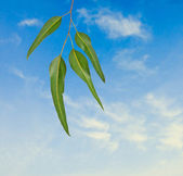 Eucalyptus branch on sky background — Stock Photo