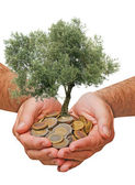 Olive tree in palms as a gift — Stock Photo