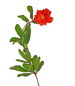 Pomegranate branch with flower — Stock Photo