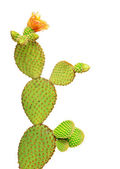 Opuntia cactus isolated on white background — Stock Photo