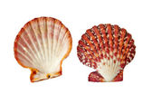 Scallop isolated on white background — Stock Photo
