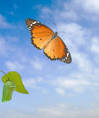 Monarch butterfly and pupae isolated on white background — Fotografia Stock