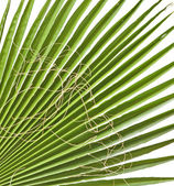 Hoja de palma aislada sobre fondo blanco — Foto de Stock