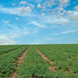 Legume field at Israel — Stock Photo #6666574