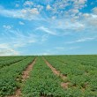 Legume field at Israel — Stock Photo