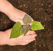 Planting a paulownia sapling — Stock Photo