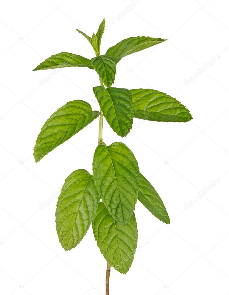 Close up of mint — Stock Photo #6665357