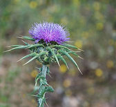 Flowering Spear Thistle (Cirsium vulgare) — Stock Photo