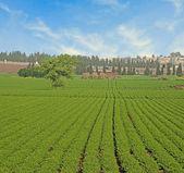 Campo de leguminosas en israel — Foto de Stock