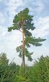 Pine at young forest — Stock Photo
