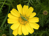 Grasshopper on Golden Marguerite — Stock Photo