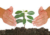 Sapling protected by hands — Stockfoto