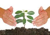 Jeune arbre protégé par des mains — Photo