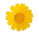 Golden Marguerite isolated on white background — Stock Photo