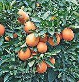 Oranges on tree — Stock Photo