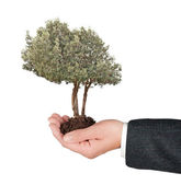 Olive tree in hand — Stock Photo
