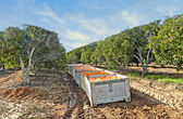 Crates with oranges at harvest — Stock Photo