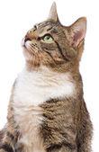 Europese kat — Stockfoto
