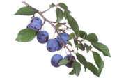 Plums with leafs — Stock Photo