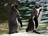 Humboldt pingviner — Stockfoto