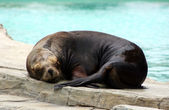 Sleeping sealion — Stock Photo