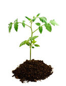 Tomato seedling in earth — Stock Photo