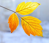 Autumn leaflet — Stock Photo