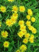 Flower elecampane (Inula helenium) — Stock Photo