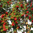 Red ash (Sorbus aucuparia L) — Foto de Stock