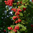 Stock Photo: Red ash (Sorbus aucupariL)