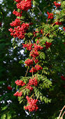Red ash (Sorbus aucuparia L) — Stock Photo