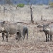 Warthog family in dry short grass — Stock Photo