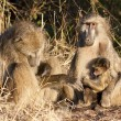 Stock Photo: Baboon family sitting on the side of a road