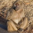 Baboon sitting on the side of a road — Stock Photo #5418391